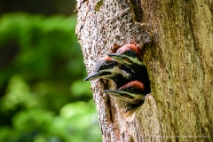 Pileated Woodpecker Babies