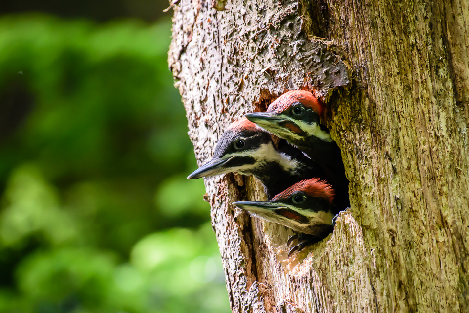 pileated-woodpecker-babies-mcauliffe-7738