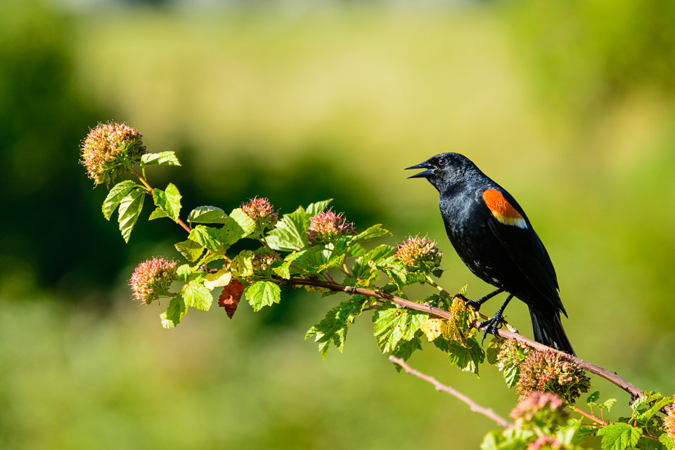 red-winged-blackbird-mcauliffe-3313