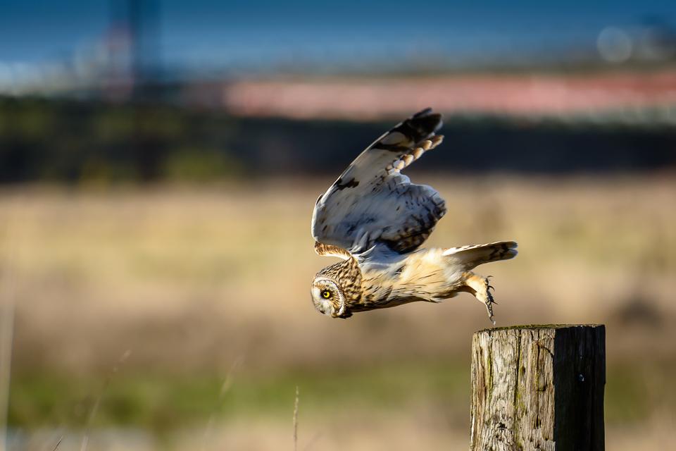 short-eared-owl-mcauliffe-0324