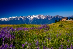 Hurricane Ridge Wildflowers