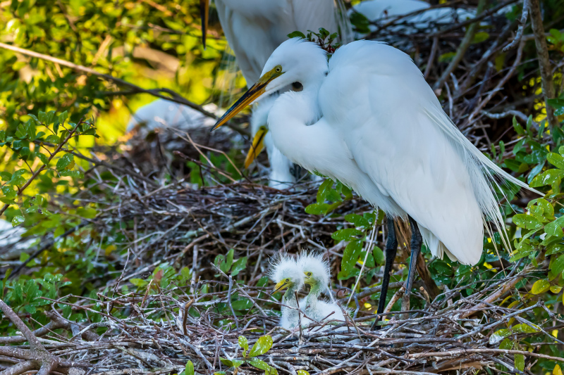 Great Egret with Baby Egrets
