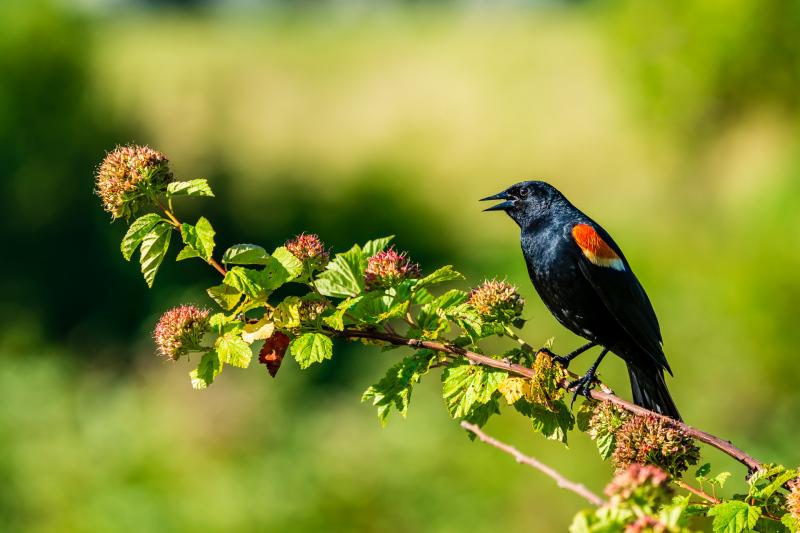 Red-winged Blackbird in Edmonds, Washington.