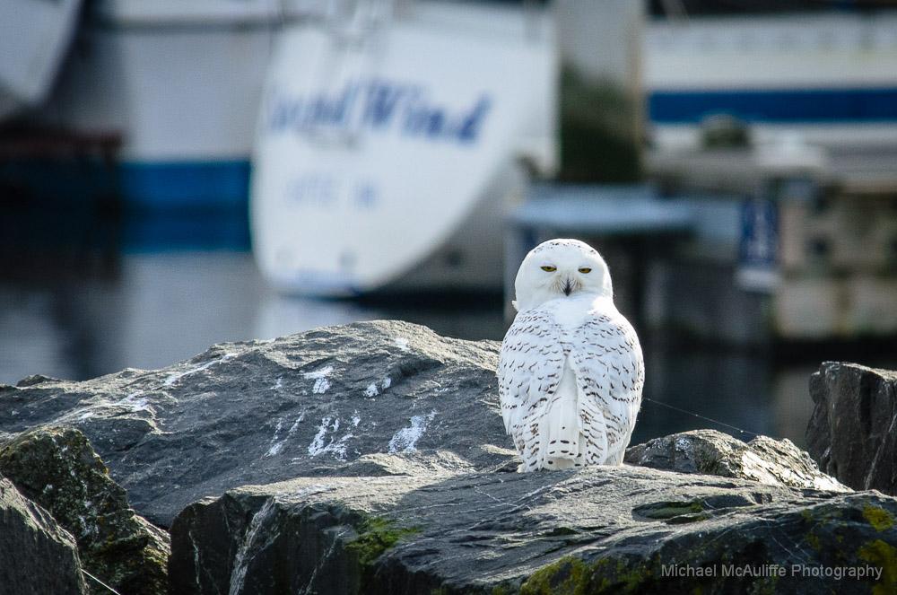 Edmonds Snowy Owl Photos on KOMO