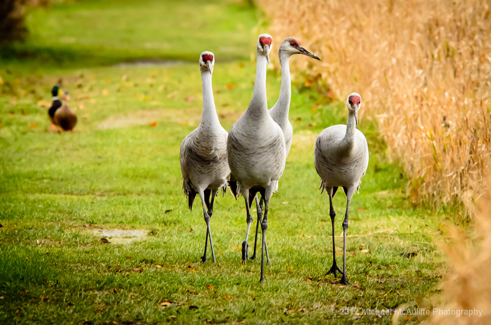 Strolling Sandhill Cranes