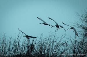 Sandhill Cranes at Reifel Bird Sanctuary