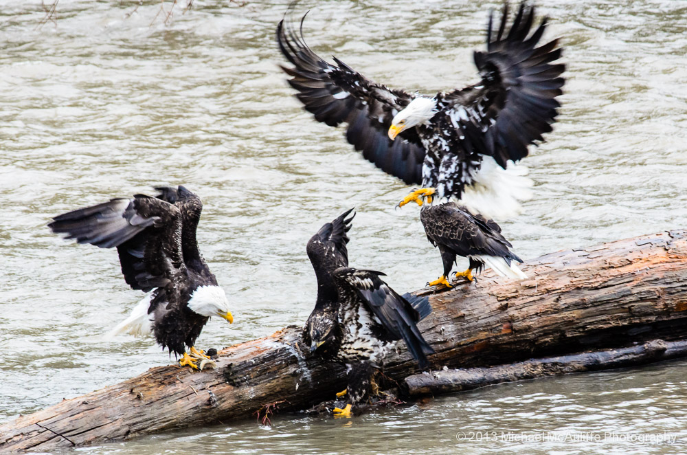 Photos of Rare Leucistic Bald Eagle on the Nooksack River
