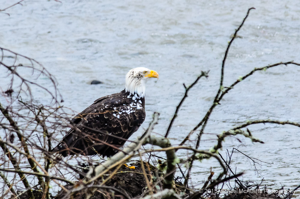 Leucistic Bald Eagle posing on the bank of the Nooksack River near Bellingham, Washington.