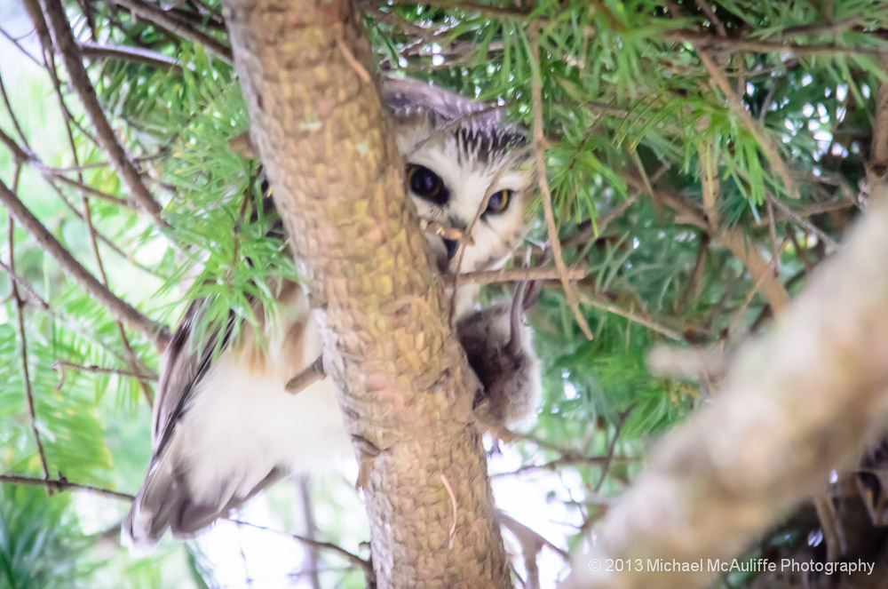 Northern Saw-whet Owl with Mouse at Reifel Bird Sanctuary