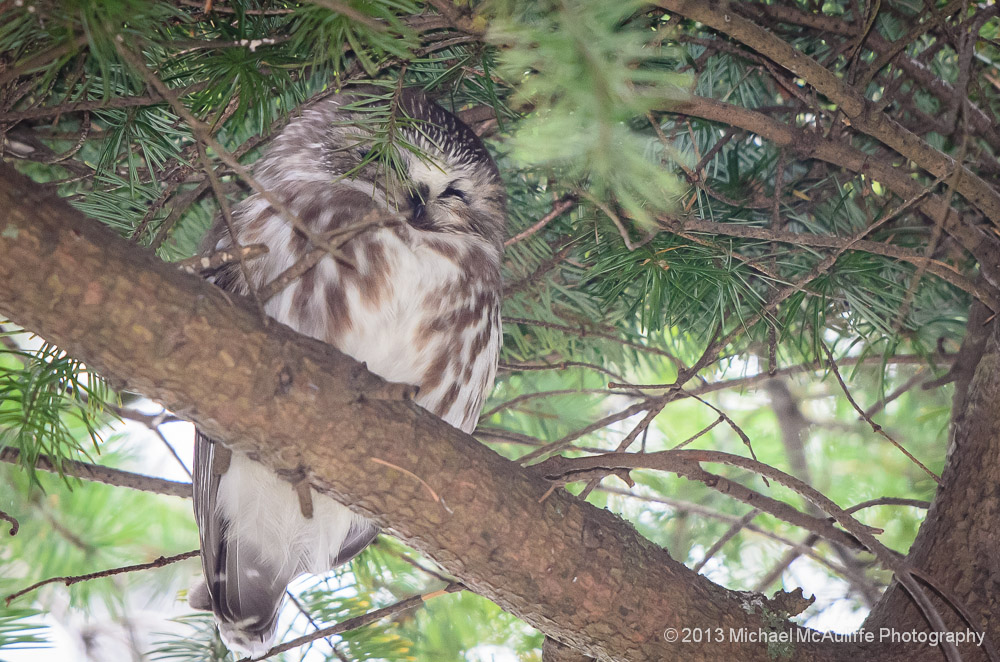 Napping Saw-whet Owl