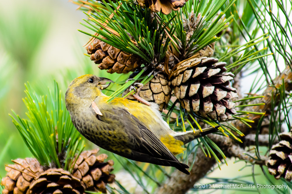Female Red Crossbill at Edmonds Marsh