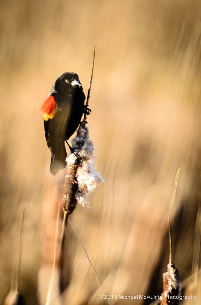 Red-winged Blackbird at the Edmonds Marsh.