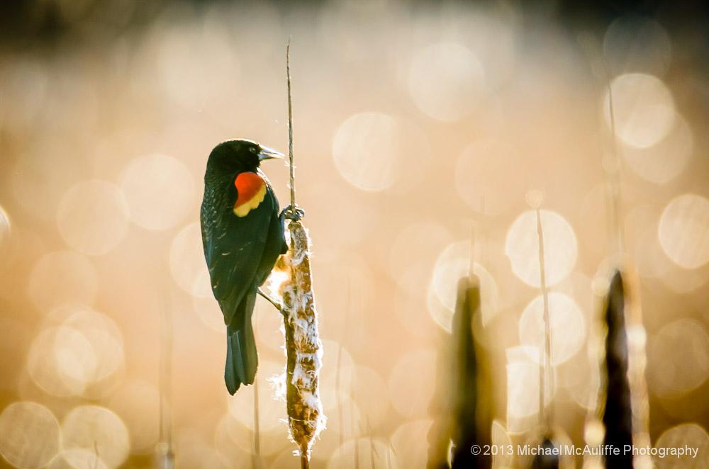 Red-winged Blackbird Photo From Edmond Marsh