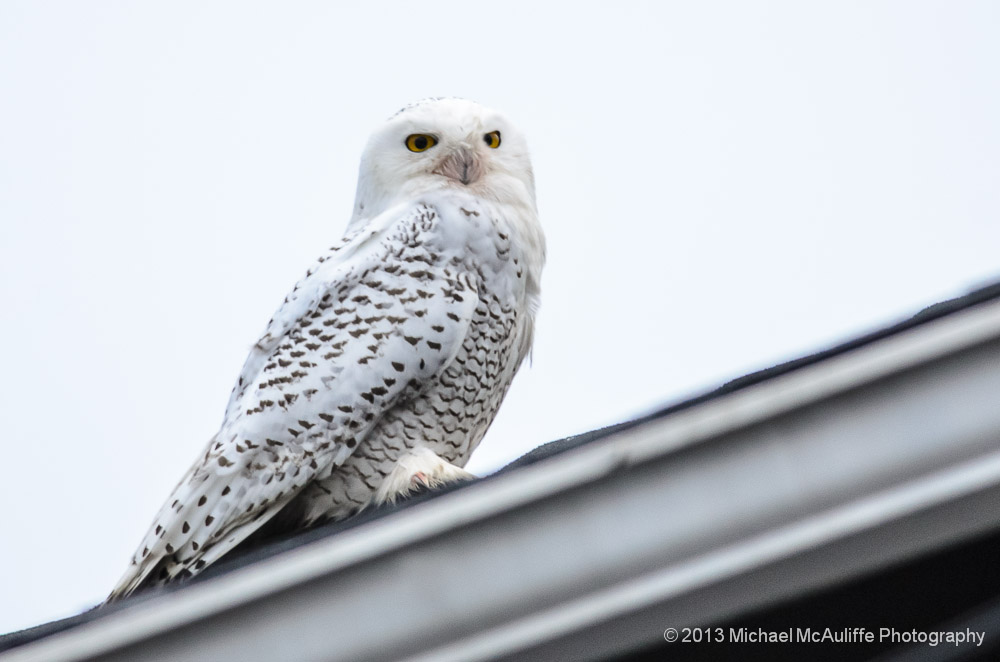 Snowy Owl on a Roof in Edmonds, Washington