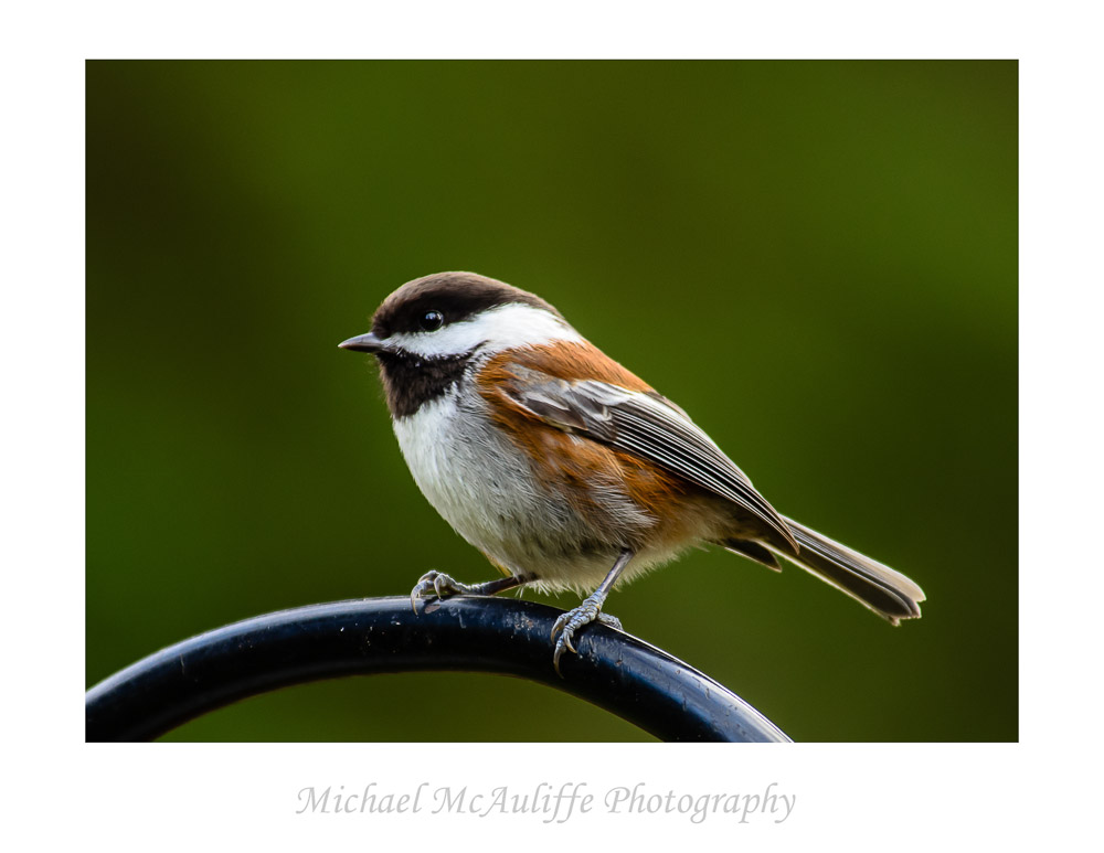 Some Little Backyard Birds For a Change: Chickadees