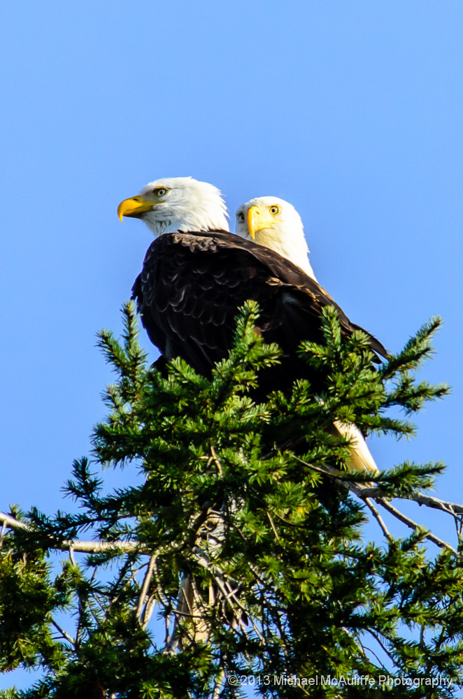 Happy Valentine's Day!  A Bald Eagle Pair