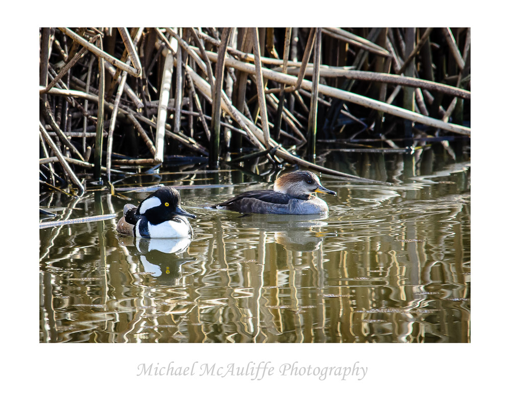 "A ""Couple"" of Hooded Mergansers"