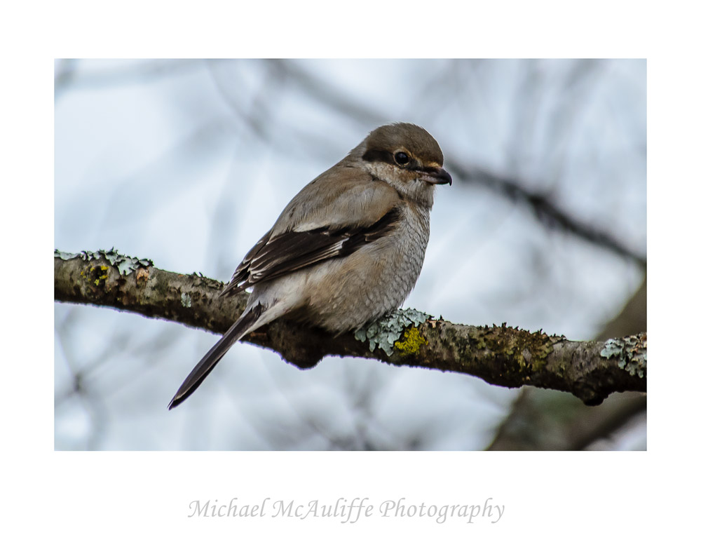 A Winter Visitor – Northern Shrike