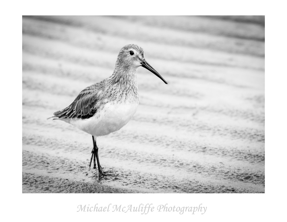 Long Beach Shorebird – What Is It?