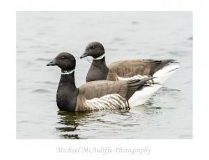 Edmonds, WA Birding – Brant Geese and Red Crossbills