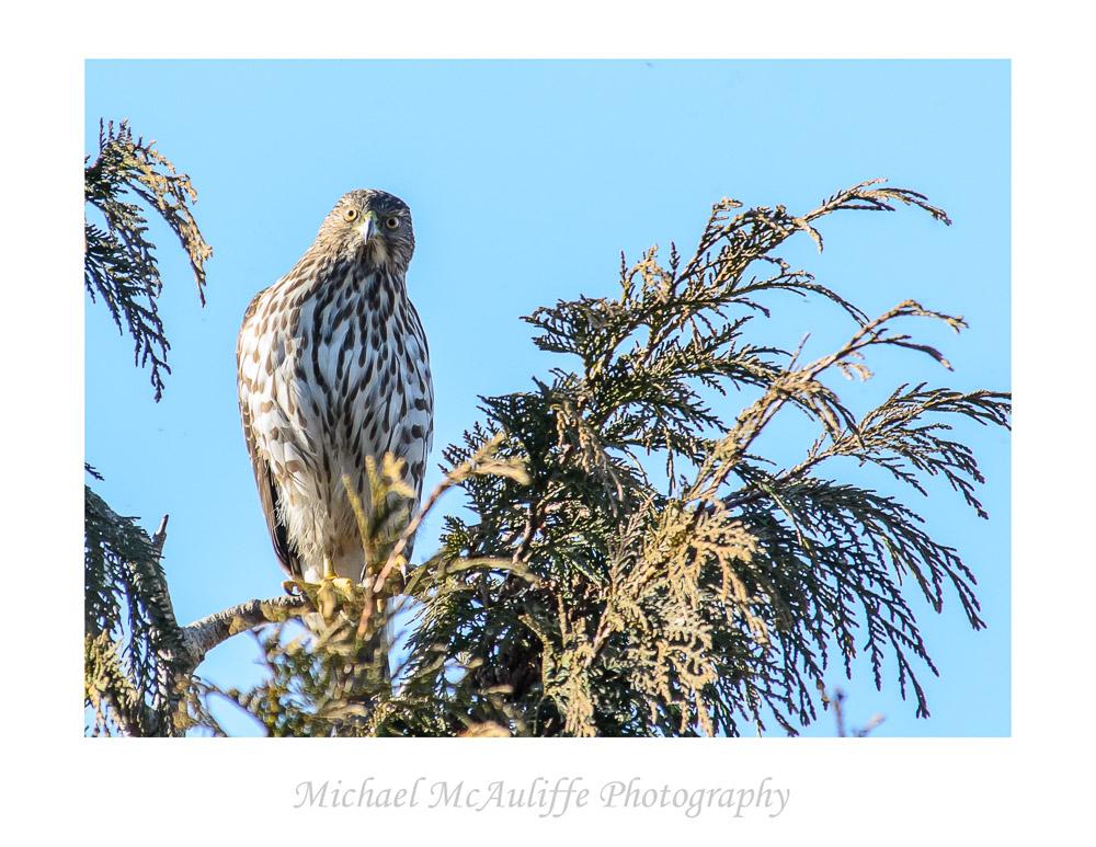 Cooper's Hawk at the Edmonds Marsh