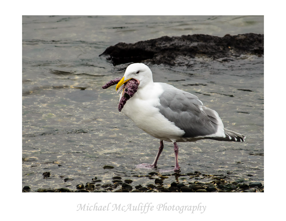 A gull having a starfish for lunch.