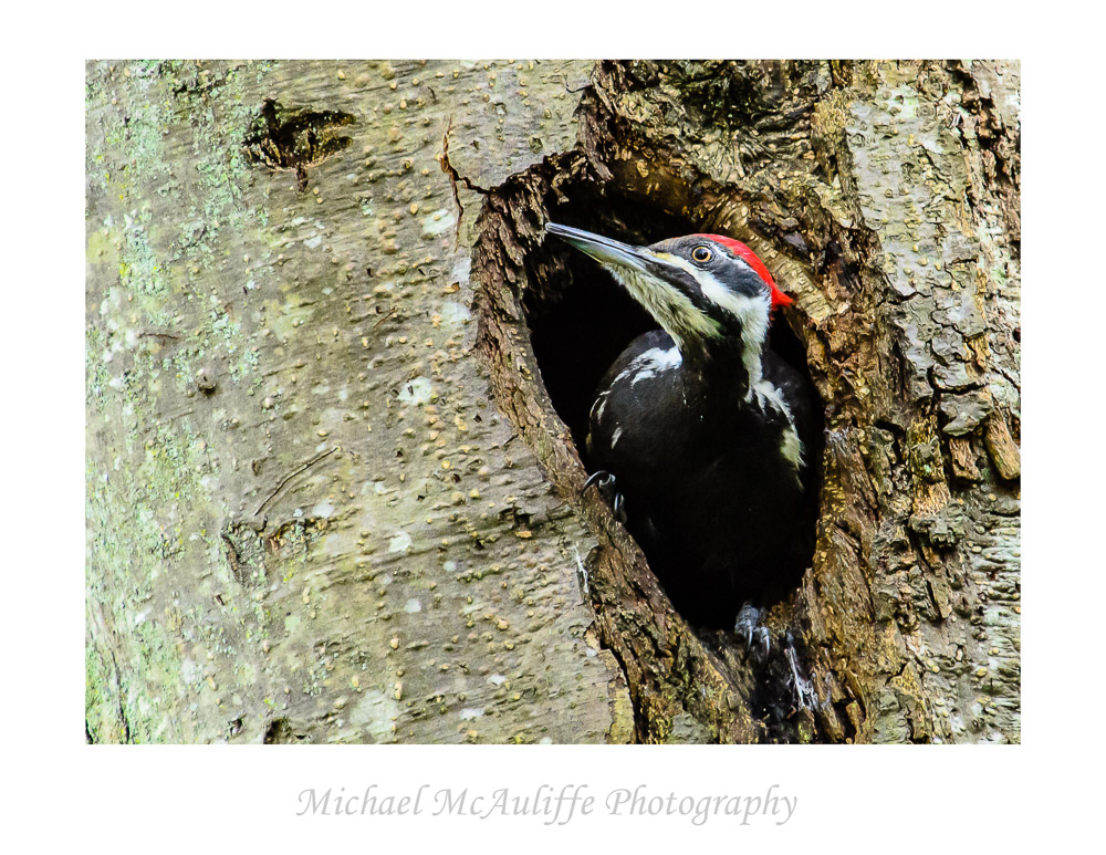 A Pileated Woodpecker Peers out of a Hole in a Tree