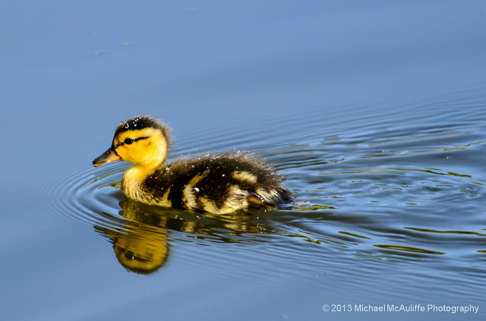 Baby Duck at Point Edwards