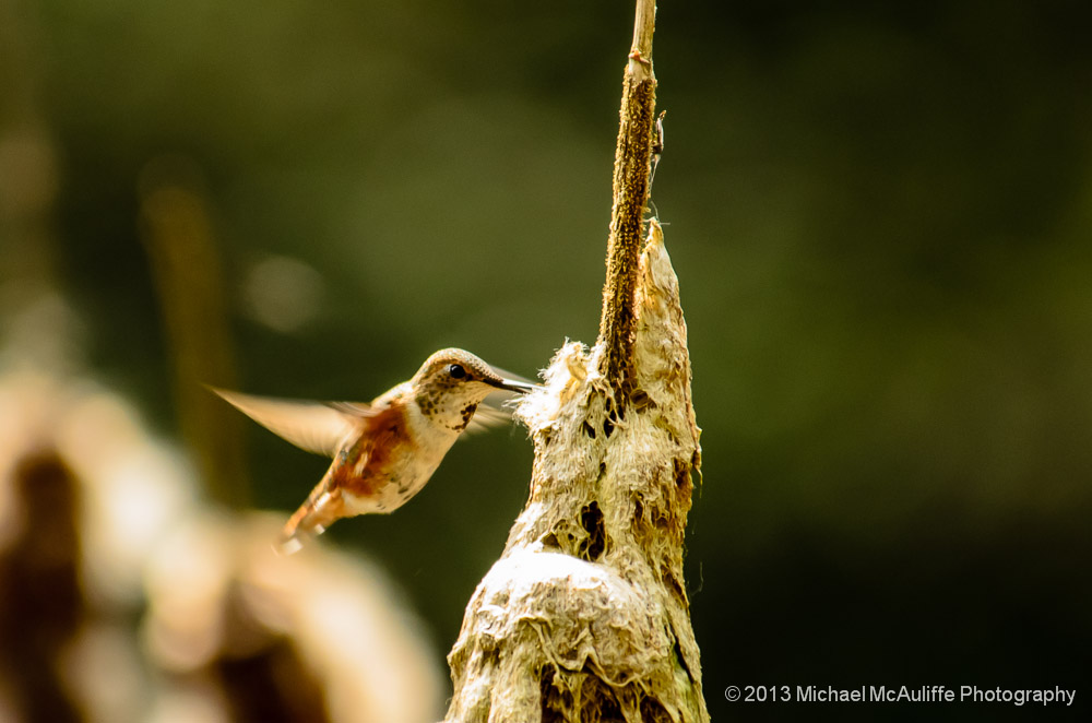A Rufous Hummingbird gathers some nesting materials.