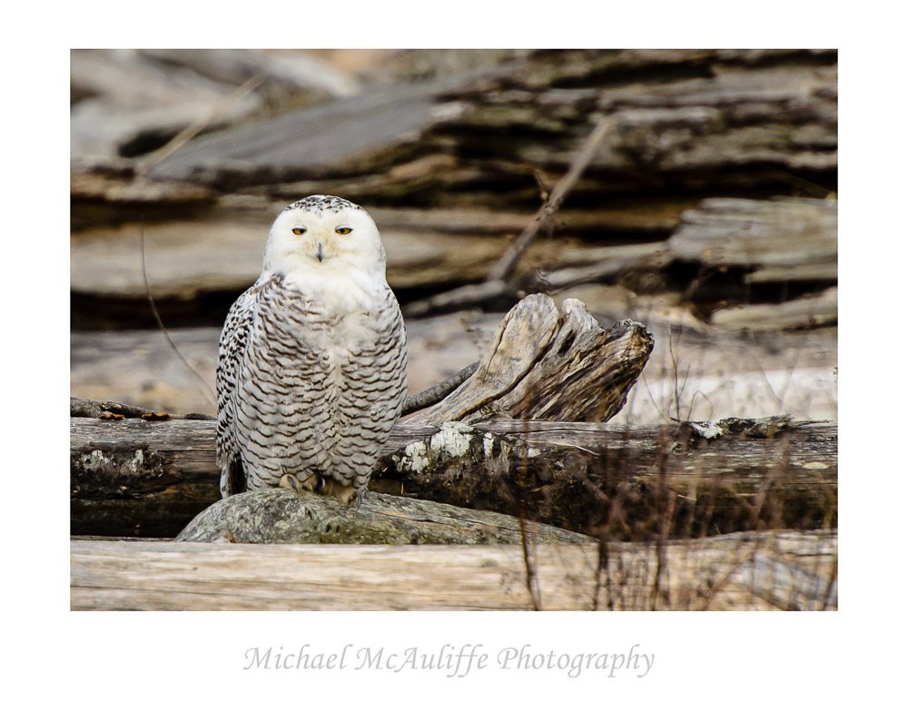 Snowy Owl at Eide Road near Stanwood, WA.