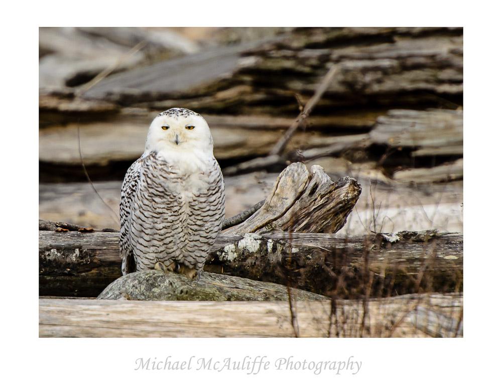 Snowy Owl at Eide Road near Stanwood, WA.