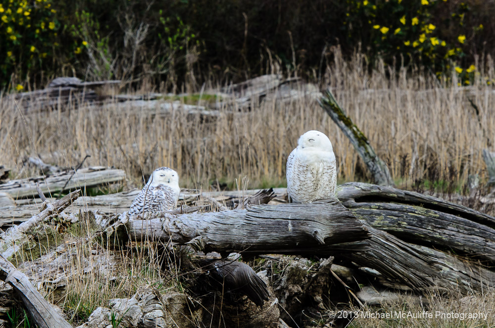 Two Snowy Owls on a log.