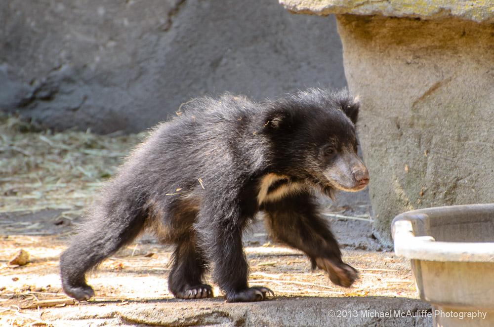 Michael Mcauliffe Photographybaby Sloth Bear Archives