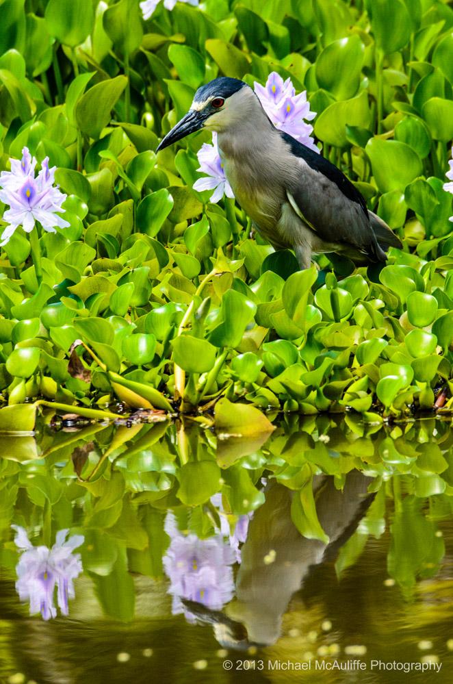 Black-crowned Night Heron on Kauai