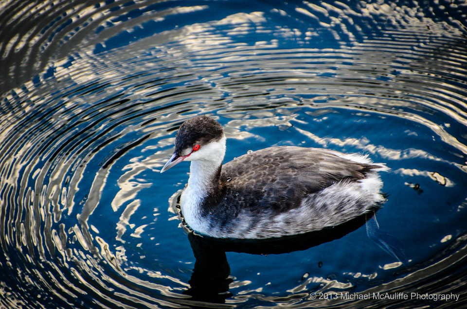 Horned Grebe on The Edmonds Wateront