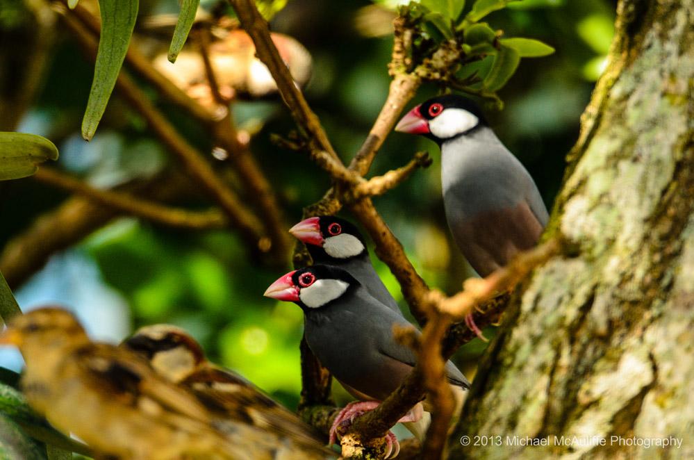 Java Sparrows on Kauai