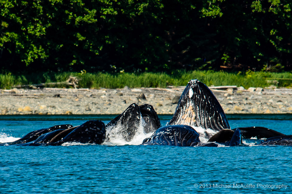WhalesBubblefeedUuneauMTMScreen0570.jpg