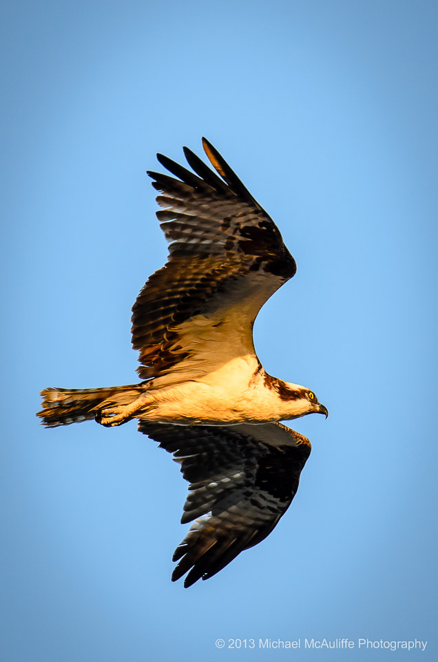 An Osprey flies over the waterfront in Edmonds, WAashington