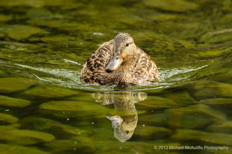 Wapato Lake Duck