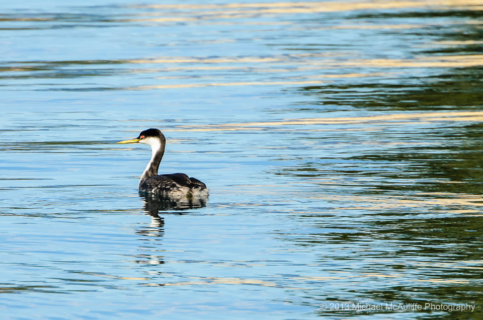 Western Grebe on Lake Chelan