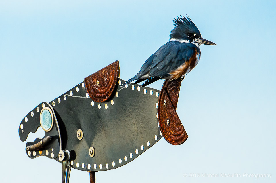A Kingfisher poses on a metal fish on the waerfront in Edmonds, WA.