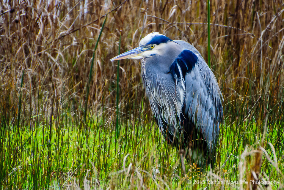 A Great Blue Heron at the Edmonds Marsh