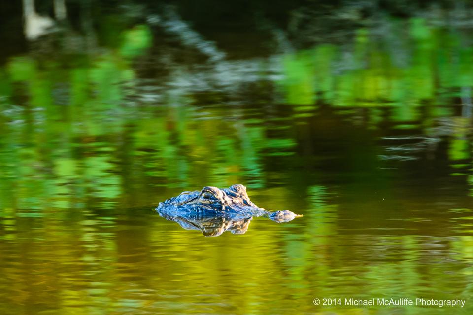 An alligator at the Merritt Island National Wildlife Refuge