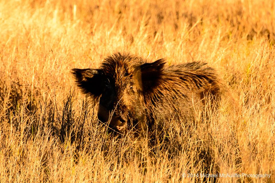 A Feral Hog at the Merritt Island national Wildlife Refuge