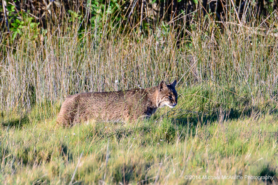 A bobcat at the Merritt Island Natinal Wildlife Refuge