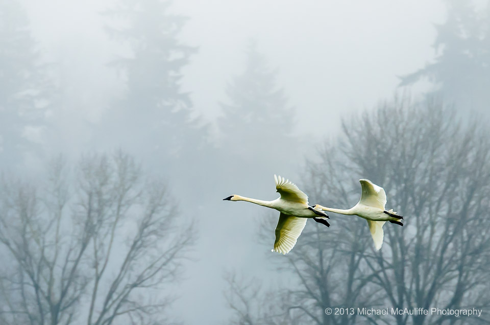 Trumpeter Swans in the fog