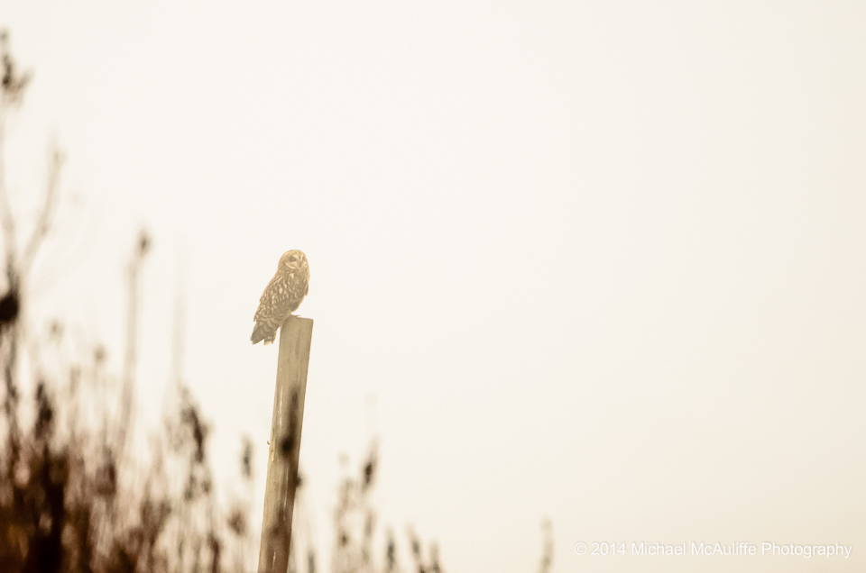 A Short-eared owl resting on a post.