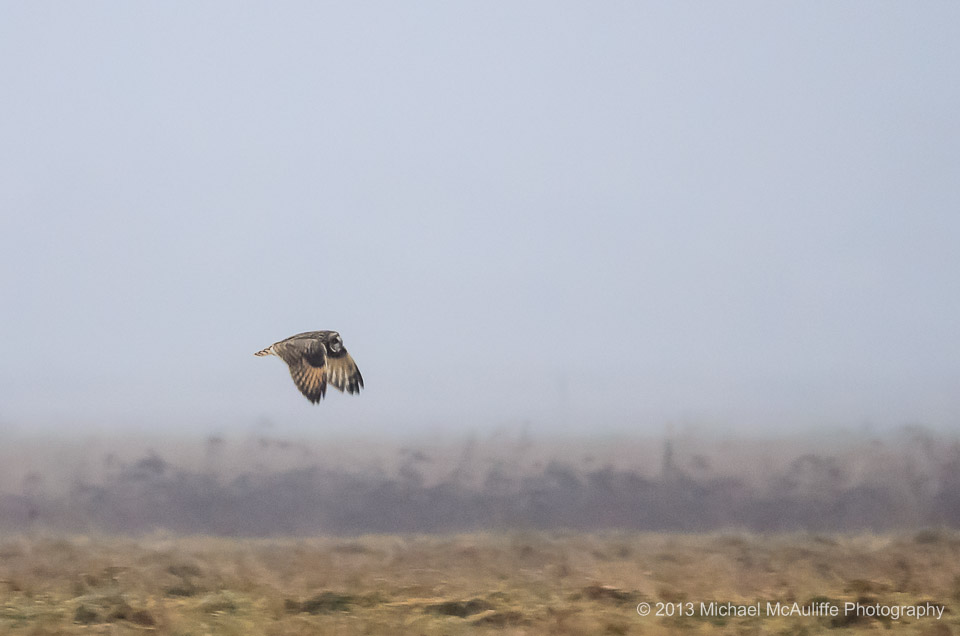 A Short-eared owl on the Samish Flats