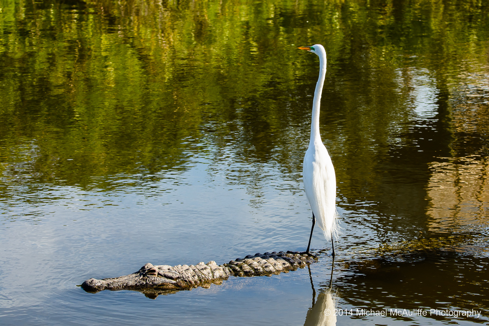 An Egret rides on the back of an alligator in Orlando, FL.