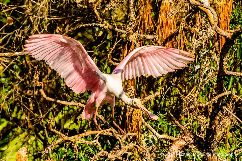 A Roseate Spoonbill at Gatorland in Orlando, FL